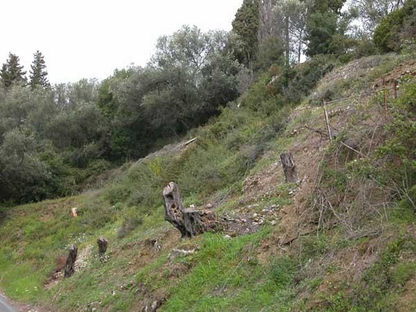 70 ελαιόδεντρα «ξηλώθηκαν» σε δημοτική έκταση στην Πάργα – Ποιο το κόστος της διαδικασίας