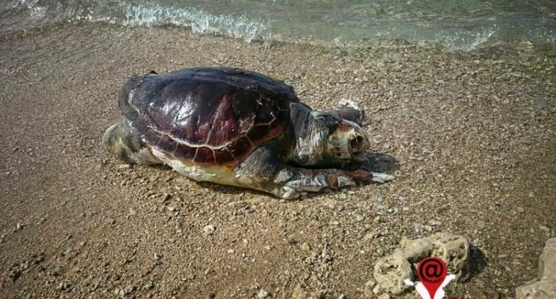 Νεκρή θαλάσσια χελώνα στον Παντοκράτορα